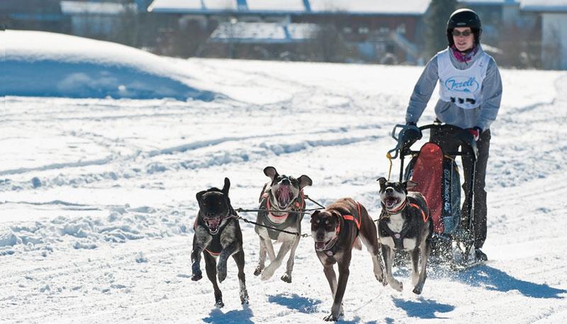Beim Schlittenhunderennen in Inzell